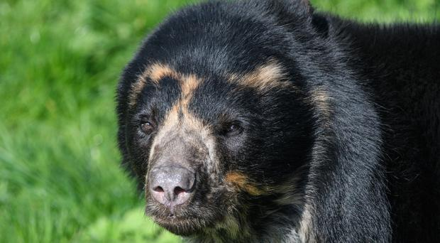 An Andean Bear close up (stefbennett/Getty)