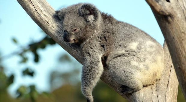 Koala sleeping in a tree (KarenHBlack/Getty Images)