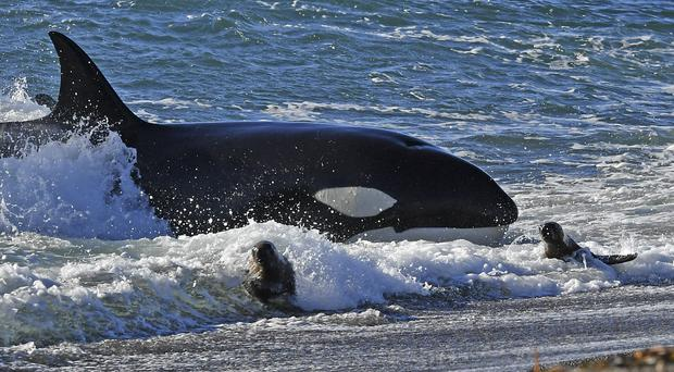 Killer whales have been displaying their hunting techniques in southern Argentina (AP)