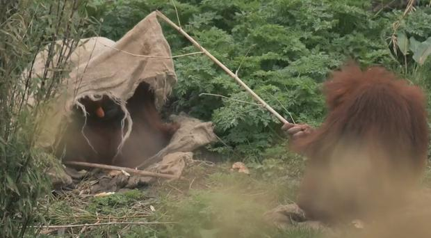 An orangutan being a nuisance with a stick (Chester Zoo)