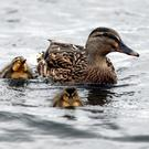 Ducklings (David Jones/PA)