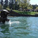 Samudra the elephant enjoys a swim at Oregon Zoo
