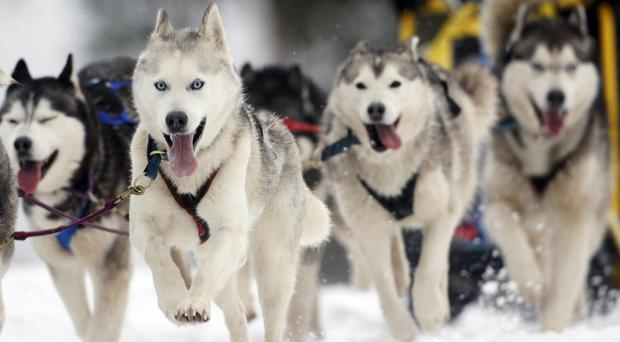 Husky dogs take part in a race