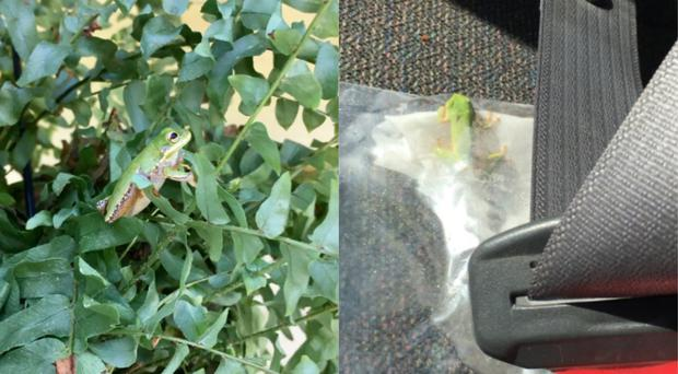 Rescued tree frog