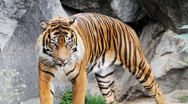 An adult tiger (dottedhippo/Getty Images)(RZSS Edinburgh Zoo/PA)