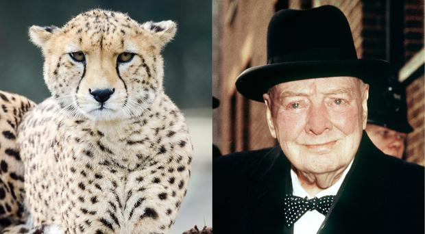Cheetah's can't roar and Churchill understood OMG, according to Reddit (Ben Birchall/PA and PA Archive)