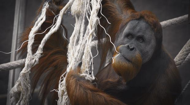 Dumplin the orangutan uses fabric attached to a sheet of metal mesh to make her creations (Adam Khaled/Getty)