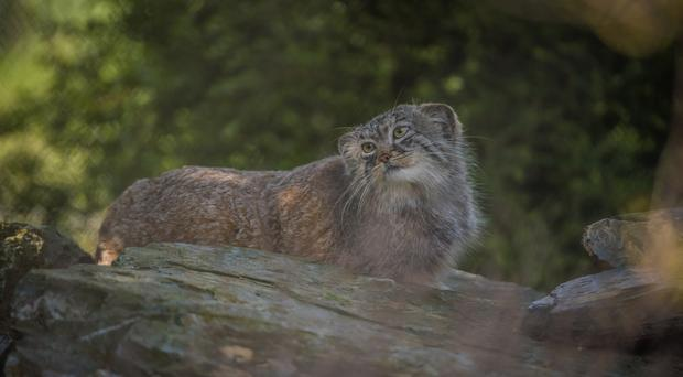Pallas's cats have arrived at Chester Zoo (Chester Zoo)
