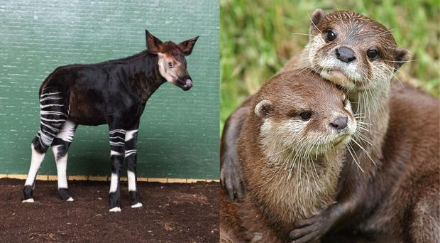 Okapis and otters are among the rebranded animals (Zoological Society of London and Nick Ansell/PA)