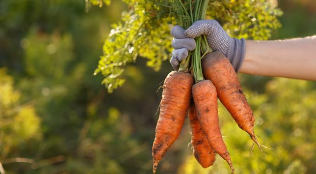 Biology students weren't expecting a question about carrots in their GCSE exam (Alter_photo/Getty Images)
