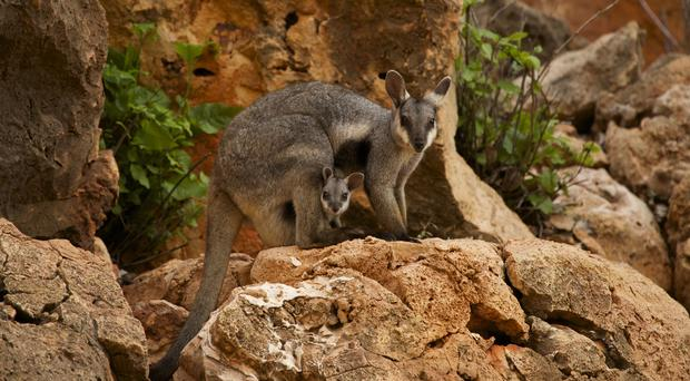 Wallabies are found in Australia and New Guinea (Fred Olivier/ WWF/Press Association Images)