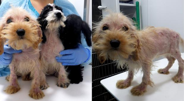 The cockapoo puppies (RSPCA/PA)
