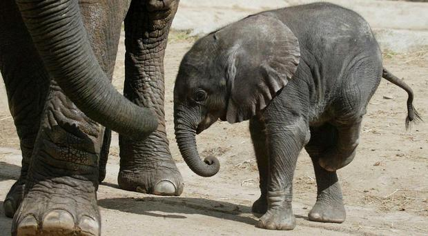 A baby female African elephant calf weighing in at 80kg, walking with her mother Tammy.