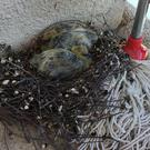 Baby birds in a nest on a discarded mop (Aelegius/Reddit)