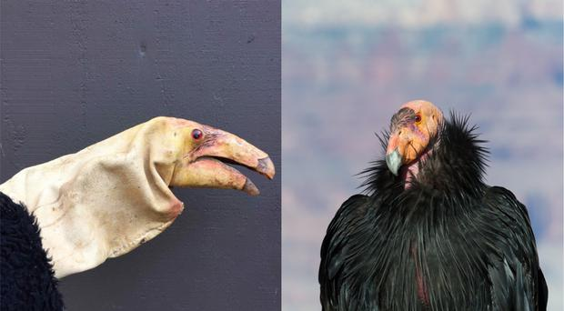 California condors are an endangered species (left, Oregon Zoo, right, SumikoPhoto/Getty)