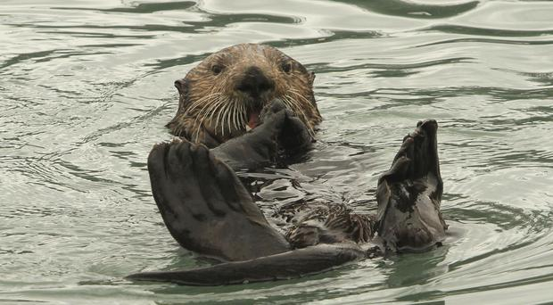 May 30 is World Otter Day (Dan Joling/AP/Press Association Images)