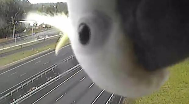 A cockatiel has been spotted on a traffic cam (Department of Transport and Main Roads (Queensland))
