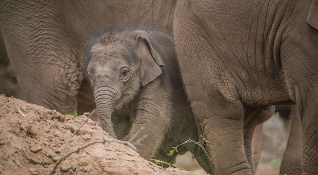 Anjan Hi Way's birth made headlines (Chester Zoo)