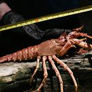 Lobsters grow and moult (shed the hard inelastic shell) right up till they die (Jonathan Brady/PA)
