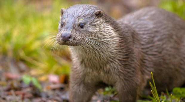 Otters (CreativeNature_nl/Getty Images)