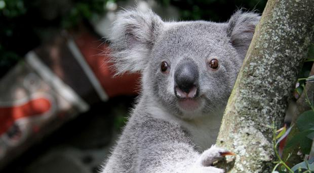 Scientists have mapped the complete koala genome, shedding new light on the animal's eating habits (Edinburgh Zoo/PA)