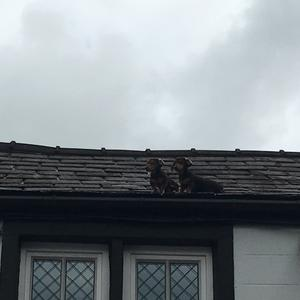 Two Dachshunds on top of a roof – (Karl Guare/Coach House Inn)