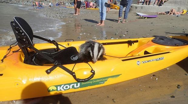 A badger on the beach after having been rescued off the coast of Cornwall – (Koru Kayaking)