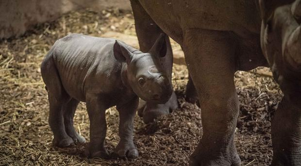 An Eastern black rhino born at Chester Zoo (Chester Zoo/PA)