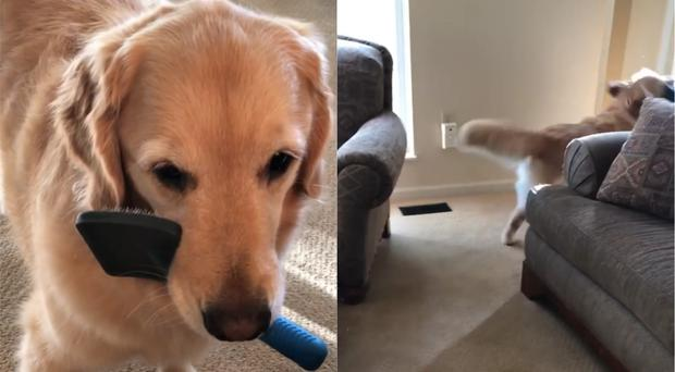 The Golden Retriever has become a social media star (my_cat_vince_stagram/Instagram)