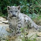 Two snow leopard cubs have been born at San Francisco Zoo (Rui Vieira/PA)