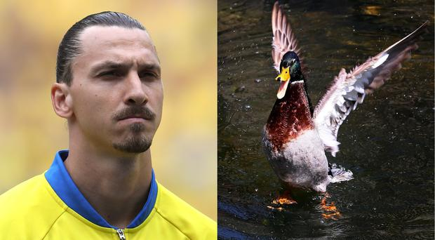 Zlatan Ibrahimovic and a duck (John Walton/PA and Gareth Fuller/PA)