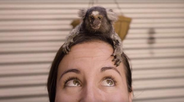 Miguel, a common marmoset, climbs on top of a zoo keeper's head (Kevin Fallon/Symbio Wildlife Park)