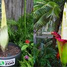 The corpse flower is expected to bloom (Toronto Zoo, amedved/Getty)