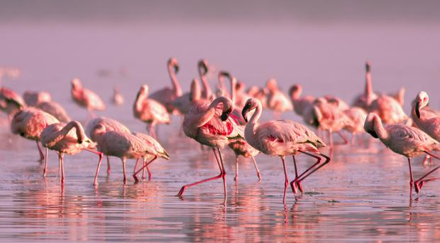 Flamingos get their pink colour from their diet (robru/Getty Images)
