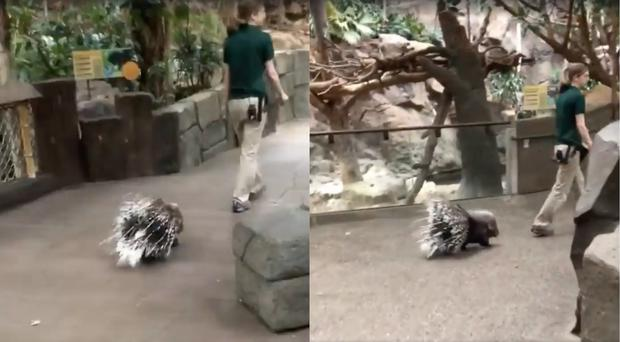 A porcupine at Minnesota Zoo goes for a walk (Minnesota Zoo)