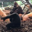 Elle, the baby gorilla, was seen somersaulting, spinning around and playing with the other gorillas(Cincinnati Zoo/PA)