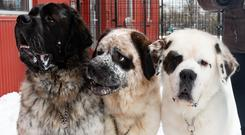 St Bernard brothers Goliath, Gunther and Gasket next to one another – (Edmonton Humane Society)