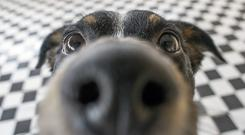 A dog puts its nose up to the camera (brunorbs/Getty Images)