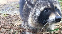 Residents were worried about the raccoons' behaviour (Milton Police Department)
