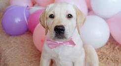 Northern Ireland's favourite breed of dog is the Labrador, according to figures from the Kennel Club