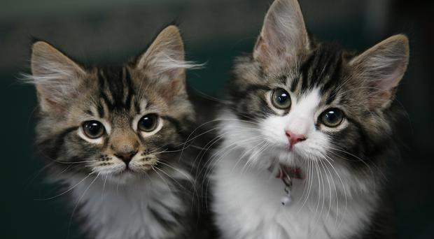 Domesticated pet kittens (Nick Ansell/PA)