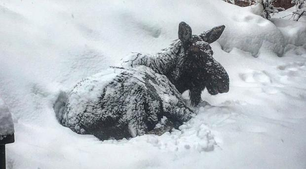 The snow-covered moose resting outside North Branch Library in Silverthorne, Colorado. (Silverthorne Police Department)