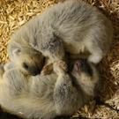 The number of wolverines in the wild is decreasing(Zoological Society of London/PA)