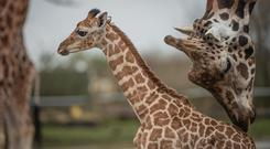 A baby giraffe born at Chester Zoo has ventured out for the first time (Chester Zoo/PA)