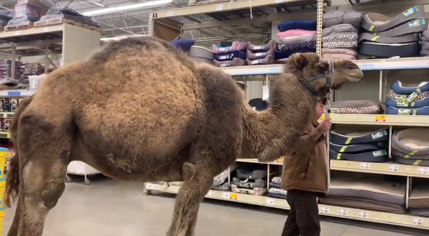 Jeffrey the camel goes for a walk around a pet shop (Lewis Farms and Petting Zoo/PA)