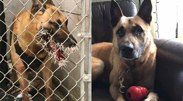 Odin covered in porcupine quills (Coos County Sheriff's Office)