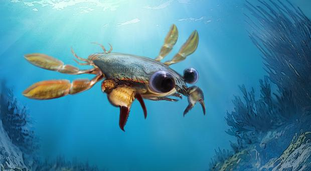 The strangest crab that ever lived? Callichimaera perplexa was a bizarre mixture of different features (Oksana Vernygora, University of Alberta/PA)