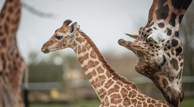 Giraffes at Chester Zoo (Chester Zoo/PA)
