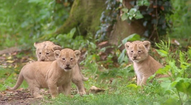 The cubs were born in May (Port Lympne Hotel and Reserve)