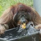 A handout picture of an orangutan playing with water at the Schoenbrunn zoo in Vienna, Austria (Daniel Zupanc/Vienna Zoo/AP)